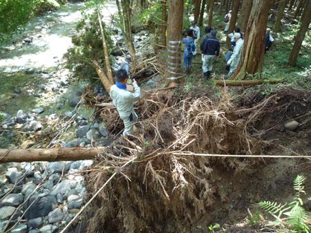 浸食による倒木1